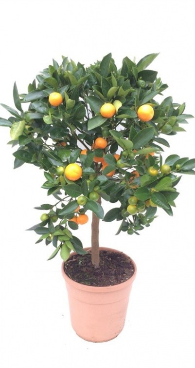citrus calamondin rm plants. Black Bedroom Furniture Sets. Home Design Ideas